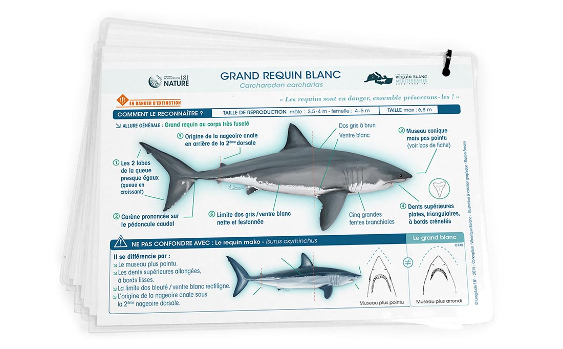 Dessin illustration de Fiche scientifique requin Blanc de mediterranee