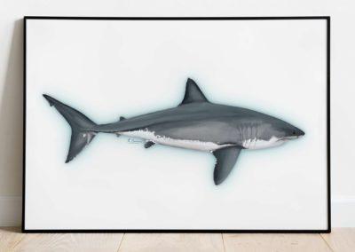 illustrations Scientifiques // sauvegarde des requins